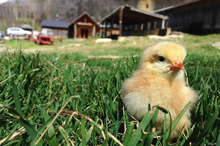 baby chick in spring on the farm