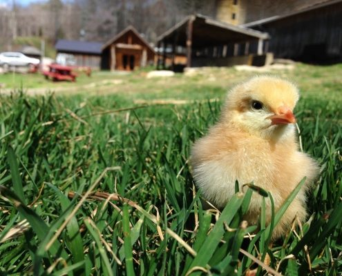 Hickory Nut Gap Farm baby animals events tours things to do in asheville