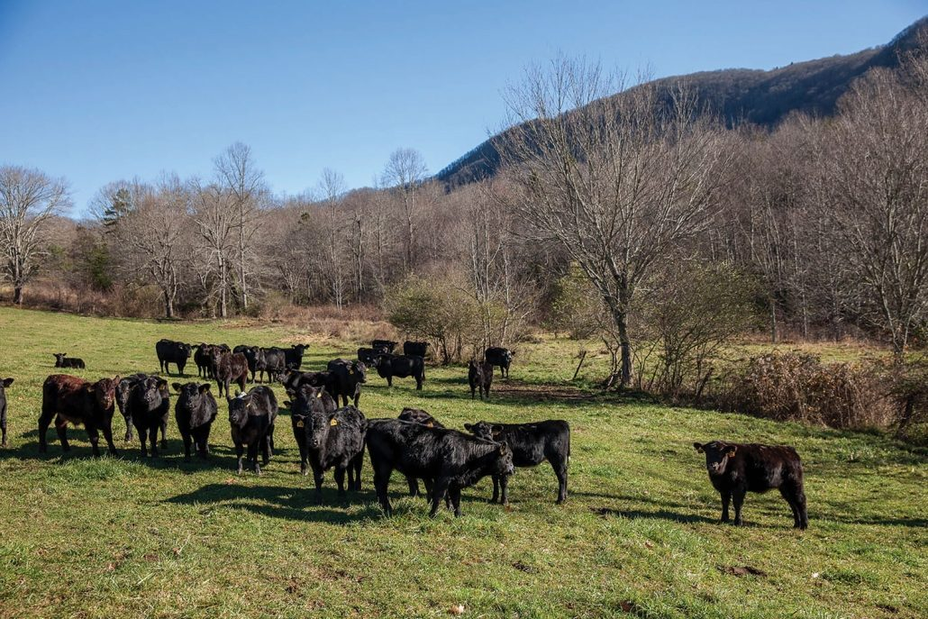 black angus cattle grazing mountains